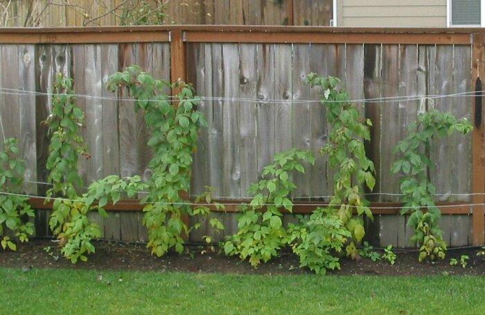Расстояние между кустами малины не должно быть менее одного метра / Фото: line24.com.ua