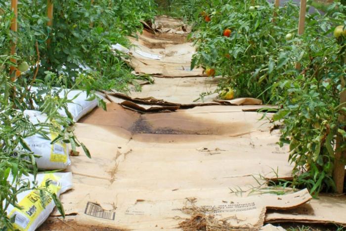 простой картон способен помочь в избавлении от нежелательного растения / Фото: postila.ru