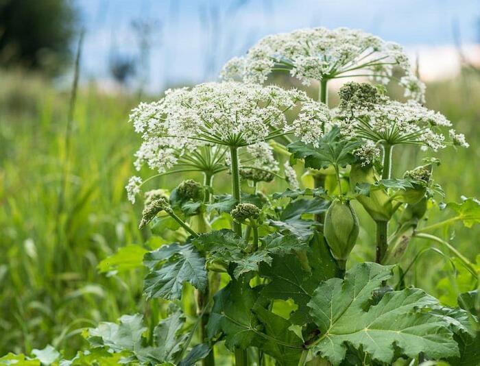 Если посадить топинамбур в заросли такого опасного растения, как борщевик, то спустя год-два последний погибнет / Фото: recyclemag.ru