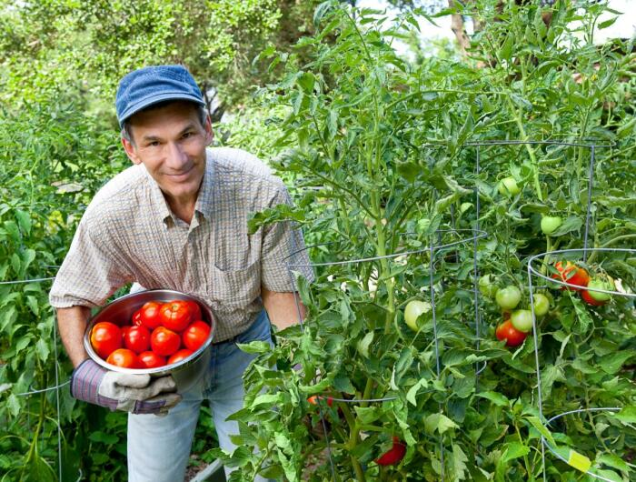 Используя капельный способ полива под корень, дачники собирают хороший урожай томатов / Фото: shkolazhizni.ru