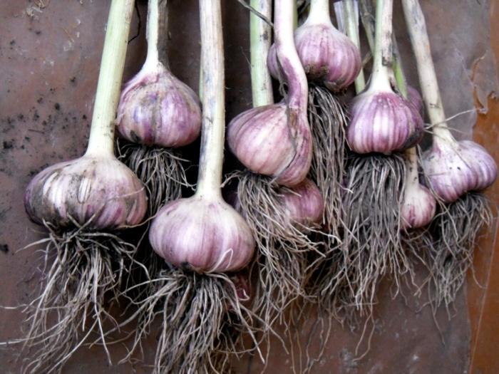 Отечественные фермеры не обрезают корневую систему и стволы, поэтому чеснок имеет форму луковицы / Фото: batths.ru
