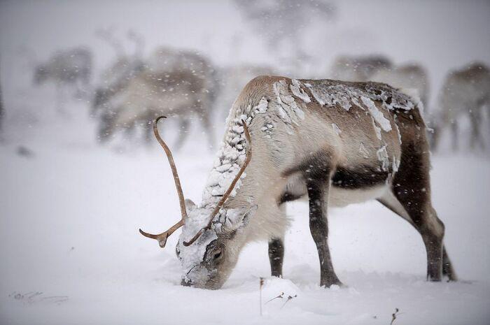 В таких условиях оленям сложнее перенести сильные морозы / Фото: news.myseldon.com