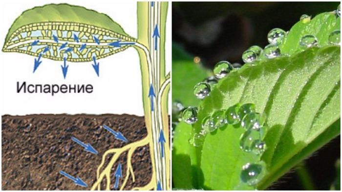 Транспирация - это сбор корнями влаги и ее испарение через листья растения и его стебли / Фото: agronomu.com