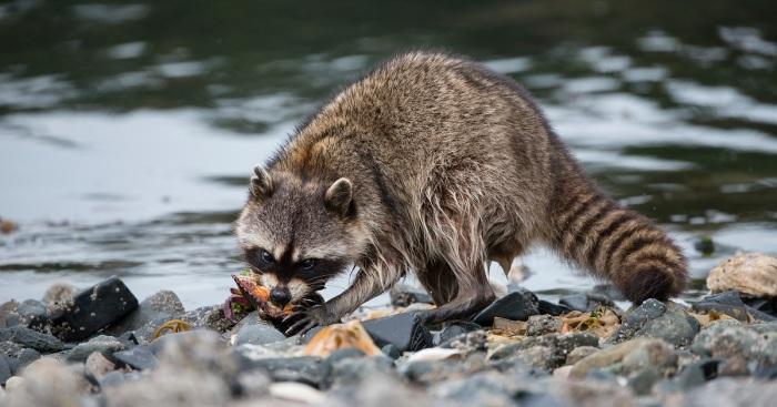 В естественной среде обитания еноты не ищут специально воду / Фото: uralskweek.kz