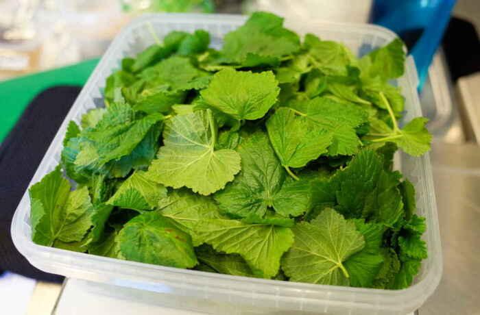 Листья смородины необходимо оборвать, промыть и просушить / Фото: perekisvodoroda.ru