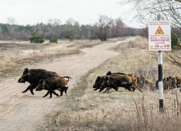 Ученые занимались изучением того, как влияет радиация в небольших дозах на животных в Чернобыльской зоне / Фото: susanintop.com