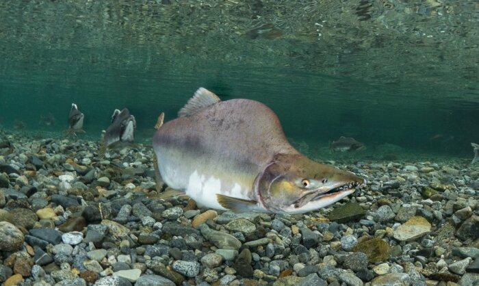 Горбуша живет в Японском и Беринговом морях, у восточного побережья Америки и Канады / Фото: nat-geo.ru
