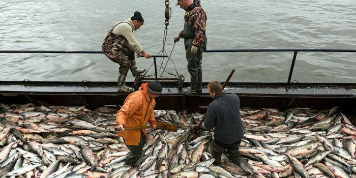 Россияне отлавливают горбушу для продажи, а норвежцам она мешает, вытесняя местного лосося / Фото: yandex.ua