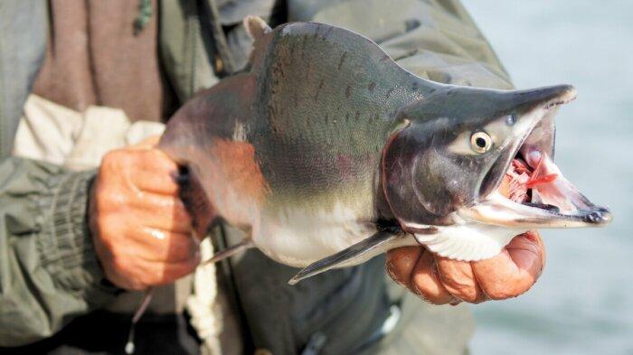 В тридцатых годах прошлого столетия ученые из Советского Союза решили поселить эту рыбу еще и в Баренцевом море / Фото: lovitut.ru