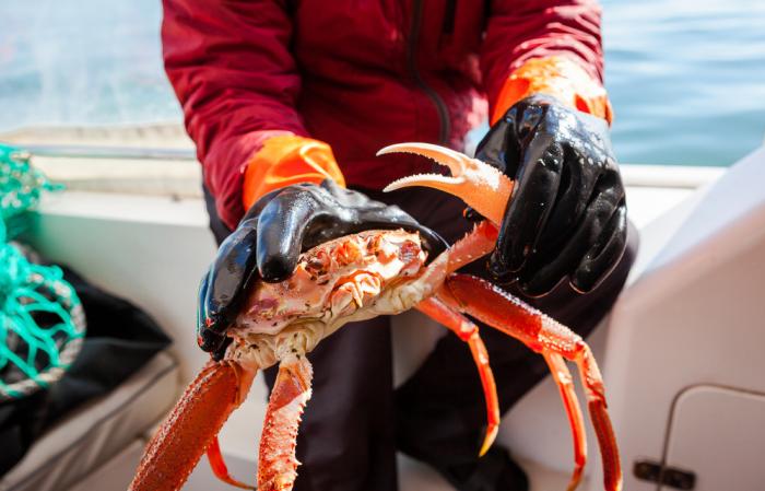 Камчатского краба - тихоокеанского обитателя тоже было решено заселить в Баренцево море / Фото: censury.net