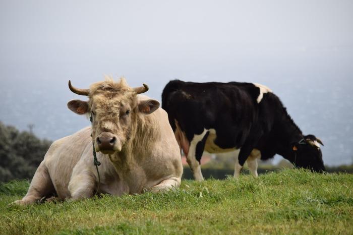 Слово «говядина» используется также в отношении быков, волов, телят / Фото: pixabay.com