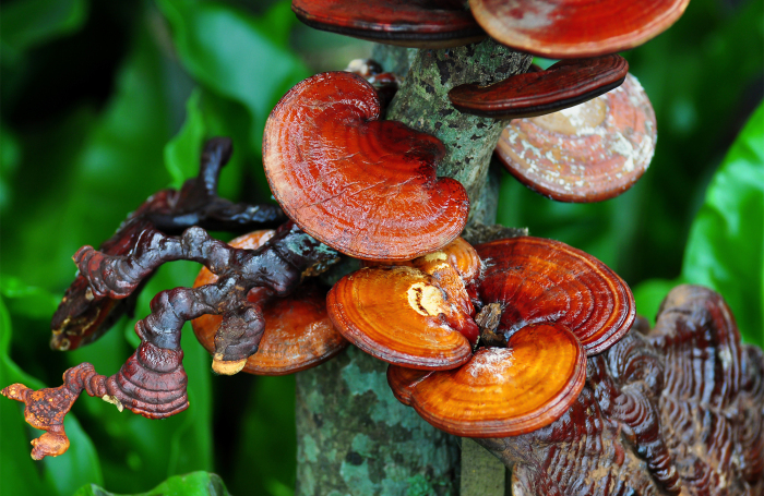 В Китае произрастает схожий с чагой гриб, который называется ганодерма, но он менее эффективный / Фото: vipgrib.ru