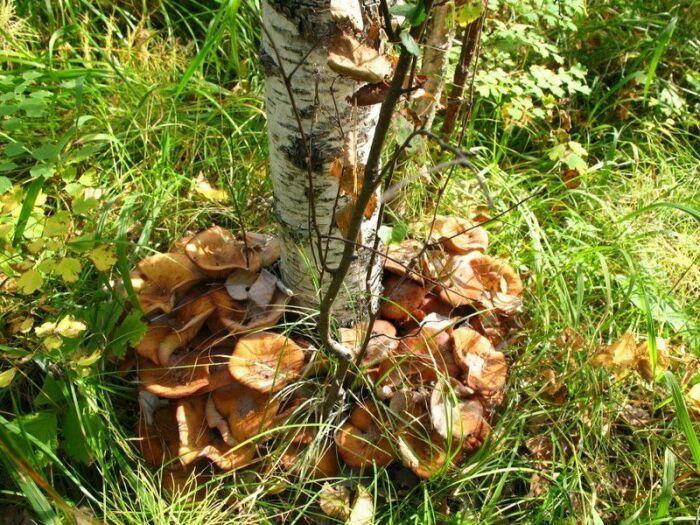 Многие грибы назвали созвучно дереву, под которым они растут / Фото: dacnye-hitrosti.ru