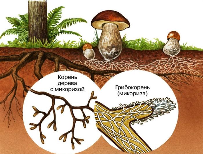 Грибница оплетает корневую систему дерева, проникая в нее, и образуется микориза / Фото: idea-sad.com.ua