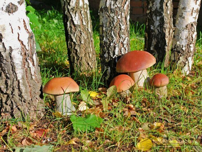 Грибы растут в определенных условиях, одним из которых является наличие деревьев / Фото: muz4in.net
