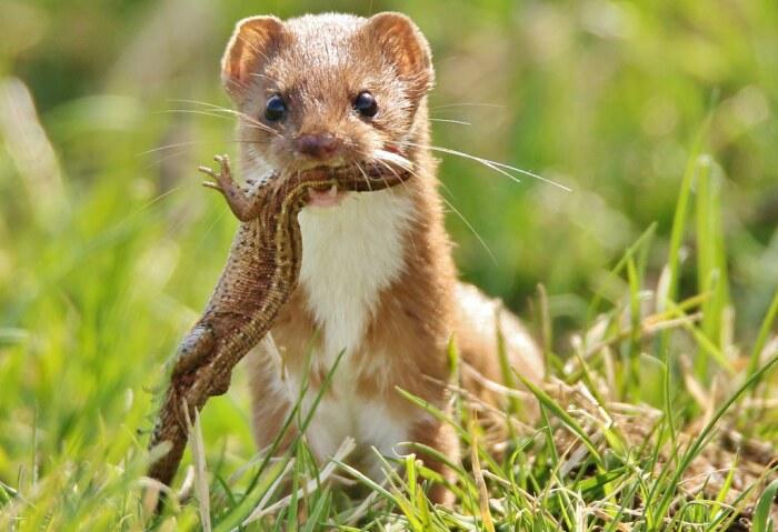 Основной рацион ласок состоит из мелких грызунов, таких как тушканчики, мыши, полевки, а также змей и ящериц / Фото: cherepah.ru