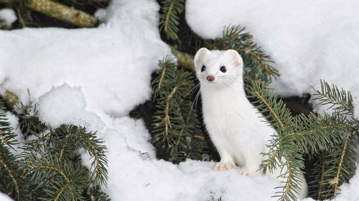 В зимний сезон мех зверька абсолютно белый / Фото: fishki.net