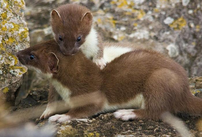 Спариваются зверьки весной и в самом начале лета / Фото: cherepah.ru