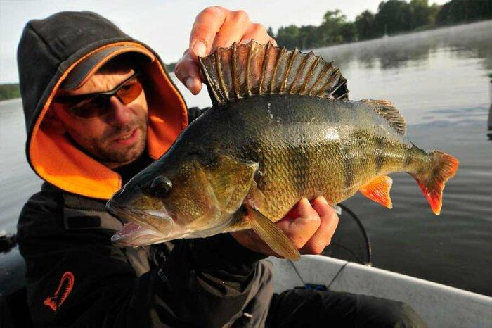 Окунь - рыба с характером / Фото: fishers.spb.ru