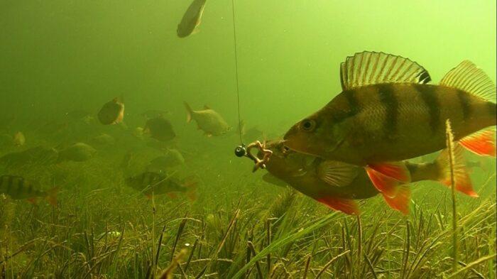 Стоит только одной рыбе попытаться схватить приманку, как остальные начинают бороться за нее / Фото: sovetnews.com