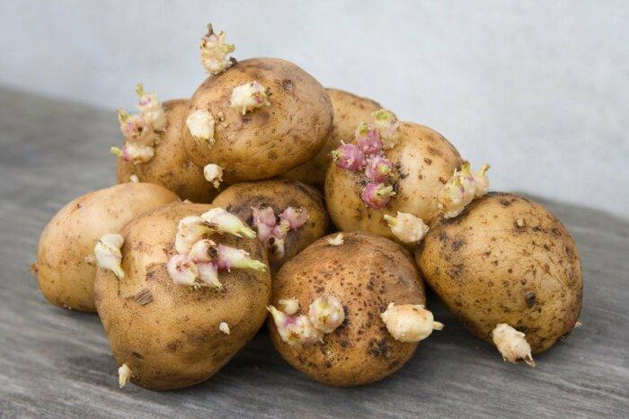 Из-за закупки картофеля в больших количествах и неправильного хранения овощ начинает прорастать / Фото: sololaki.ru