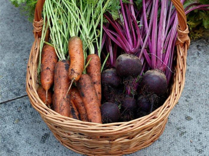 Даже весной хранящиеся таким образом овощи остаются упругими и сочными, как будто только с грядки / Фото: botanichka.livejournal.com