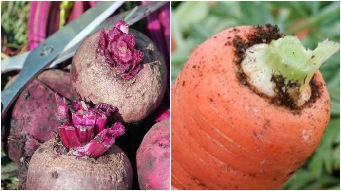 Как только свекла и морковь подсохнут, срезается ботва / Фото: prostayaferma.ru