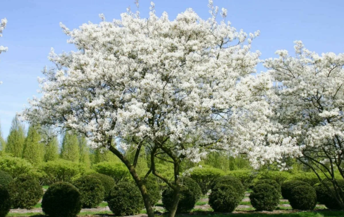 Ирга – это долгожитель в растительном мире / Фото: agrobiz.net