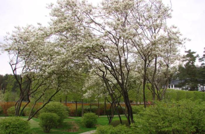 Ирга является одним из самых неприхотливых садовых растений / Фото: pitomnic.com