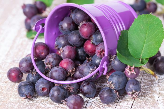 Единственный минус – долго приходится ягоды собирать, все-таки они у ирги не крупные / Фото: hobbi-plus.ru