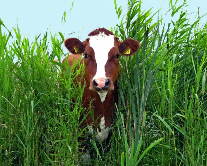 Коров жители Австралии заводят как питомцев, которые помогают бороться с лишней растительностью / Фото: agro2b.ru