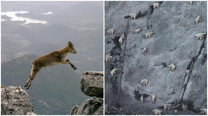 Когда парнокопытное осознает, что удержаться оно не сможет, то прыгает на следующий уступ / Фото: meinfo.ru