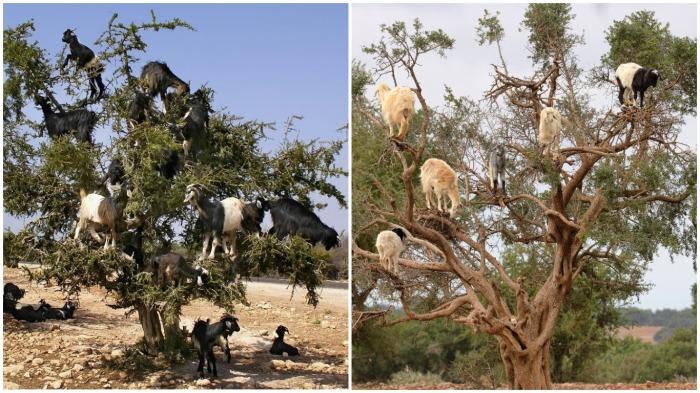 В Африке козы взбираются на деревья, чтобы полакомиться вкусной и нежной зеленью / Фото: demotivation.ru