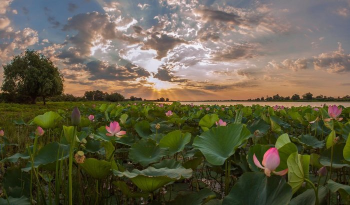 Долина лотосов занимает большую площадь / Фото: lowvolga.ru