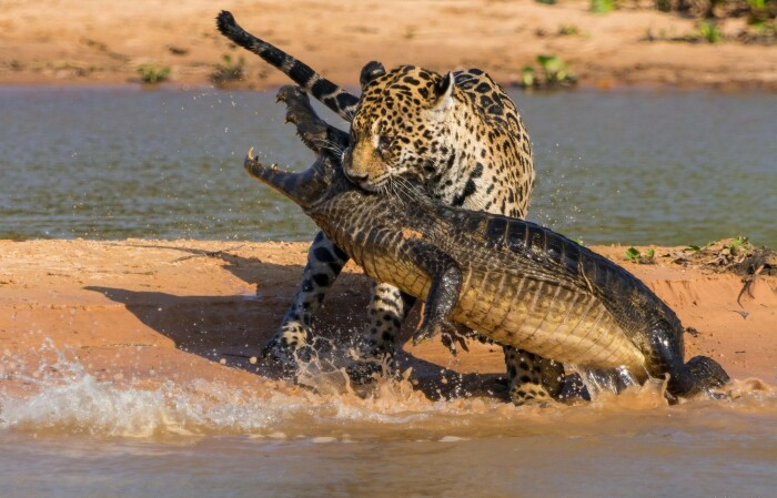 Иногда крокодилам приходится столкнуться с теми же львами или леопардами, только серьезные сражения между ними возникают очень редко / Фото: wallhere.com