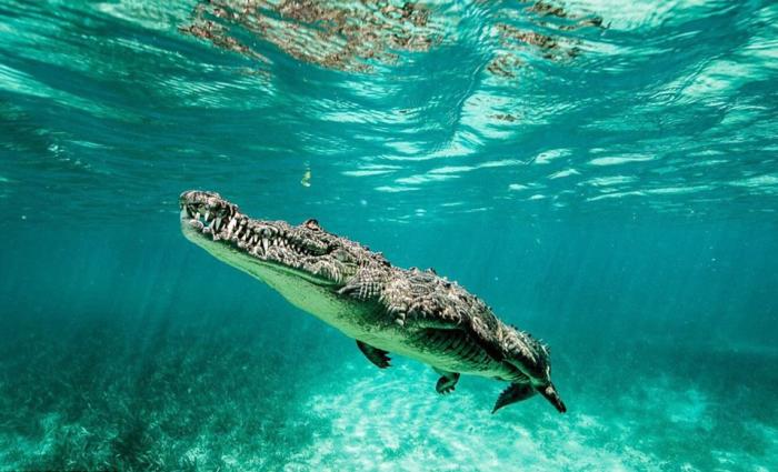 Крокодилы дышать под водой не могут, а вот задержать дыхание на продолжительный срок – это легко / Фото: ex3m.com.ua