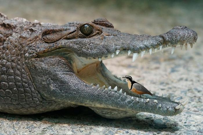 Пока крокодил охлаждается на берегу с широко открытой пастью, птички чистильщики устраивают себе пир / Фото: mnogo-krolikov.ru