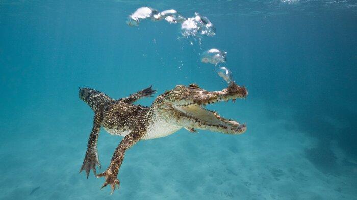 Крокодилы вообще не пьют морскую воду, даже те, для которых море является их родной стихией / Фото: w-dog.ru