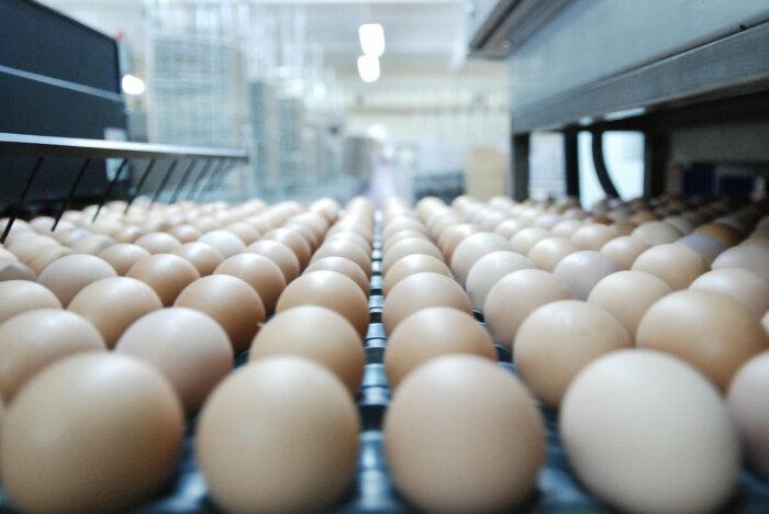 Традиционно считается, что лучше всего брать крупные, более дорогие яйца, но это ошибка / Фото: kazan.prodtechno.ru
