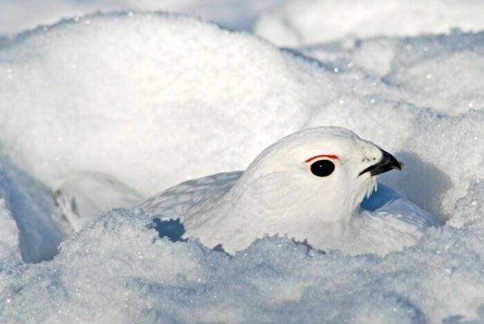 Тундровые куропатки для спасения от сильного мороза и ветра закапываются в снег / Фото: uk.fehrplay.com