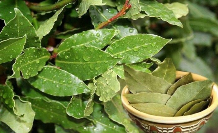 Сам куст не издает характерного запаха, но аромат домашней лаврушки более яркий и насыщенный / Фото: s-zametki.ru