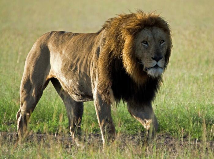Для льва изгнание из прайда проходит очень болезненно, по сути он получает огромную психологическую травму вследствие пережитой душевной боли и унижения / Фото: fineartamerica.com