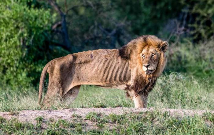 День ото дня лев становится все более слабым и ему все труднее добывать себе пищу, он теряет массу тела, становится дряхлым / Фото: life.ru