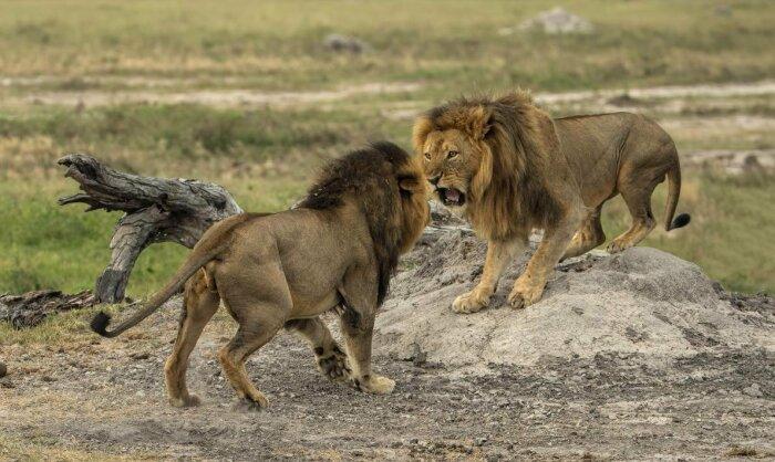 Приблизительно в пяти-шестилетнем возрасте самец, полный сил и энергии, которого ранее из его родного прайда изгнали, совместно с другими такими же львами захватывает чужой прайд / Фото: oir.mobi