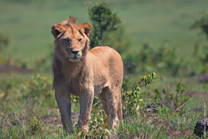 Самый хороший период льва – это первые пять-десять лет его жизни / Фото: wildlife-ru.livejournal.com