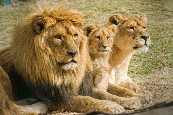 Как правило, «у власти» лев находится около двух-трех лет, не больше / Фото: vsyachyna.com
