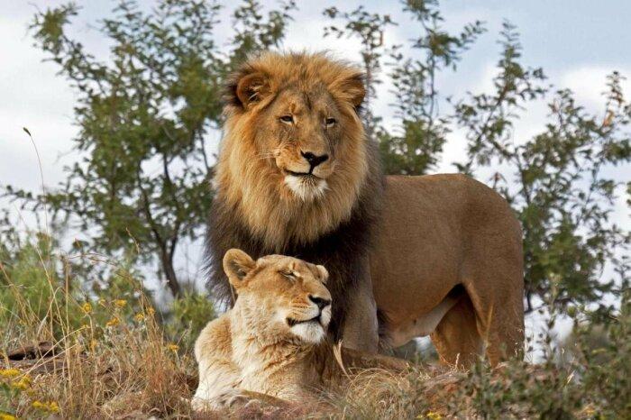 Если до этого самец имел надежную защиту, которую ему обеспечивали львицы, то с этого момента обо всем приходится заботиться самостоятельно / Фото: funart.pro