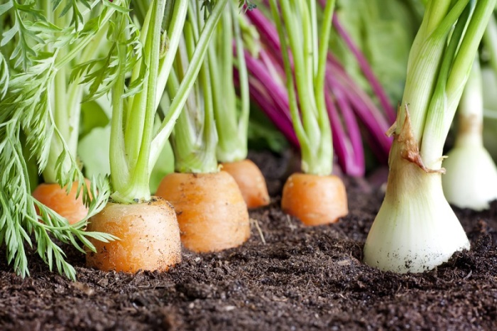 Можно высаживать сразу две культуры на грядке – лук и морковь, чередуя ряды / Фото: 680saitwoo13n.ru