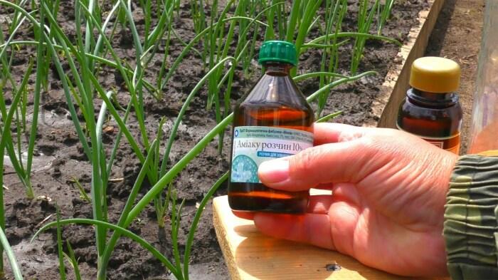 Раствор нашатырного спирта тоже является отличным решением: это не только защита, но и удобрение / Фото: youtube.com