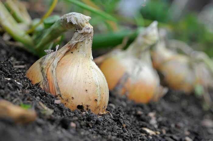 Чтобы не остаться без урожая, с луковой мухой можно и нужно бороться, а лучше проблему предупредить / Фото: dachnyedela.ru